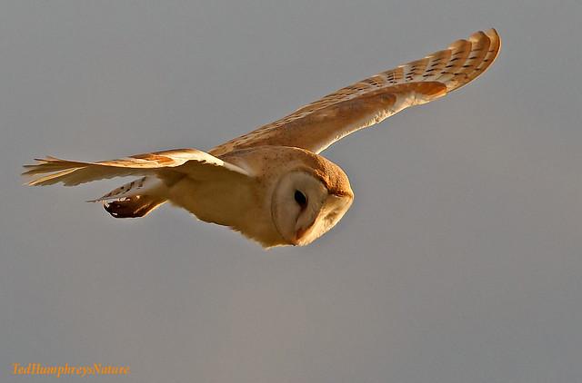 Golden owl (Medium)