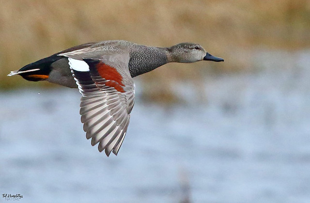 Gadwall Jan 2015 (Medium)