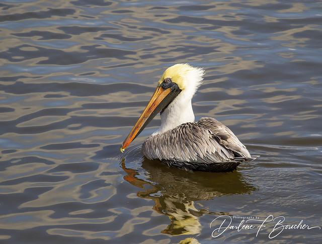 plump pelican