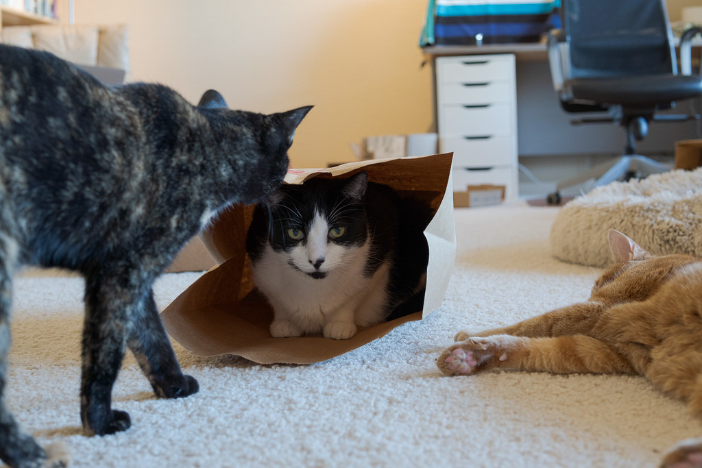 Our cat Trixie comes to greet our cat Boo as he sits in a paper bag on November 4, 2020. Original: _RAC7858.arw