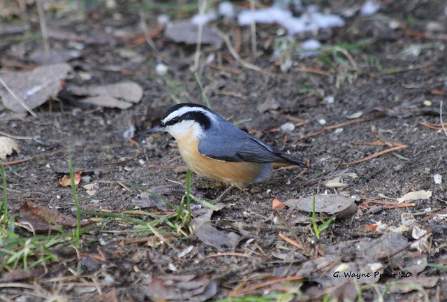 Red Breasted Nuthatch (Sitta canadensis)