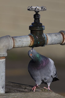 smart Pigeon drinking from leaky faucet at Port Townsend Marine Science Center