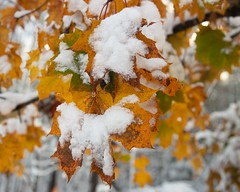 Snow on Maple Leaves