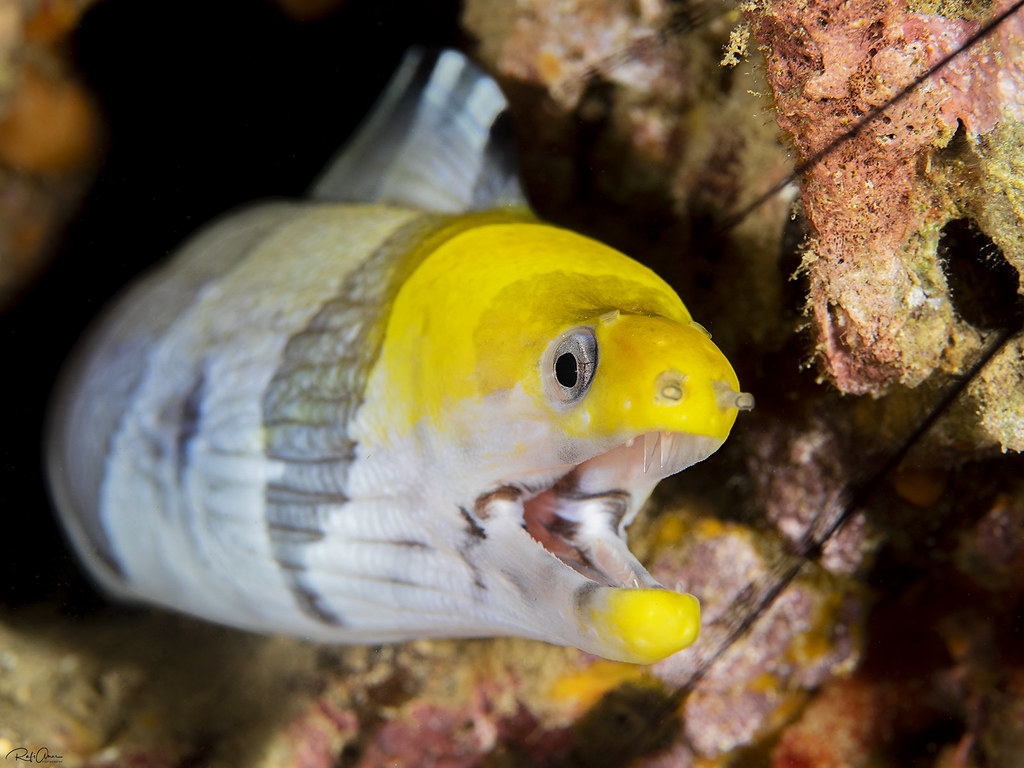 Yellow-headed Moray - Gymnothorax rueppelliae