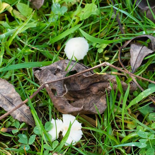 Snowy Waxcaps, short grass