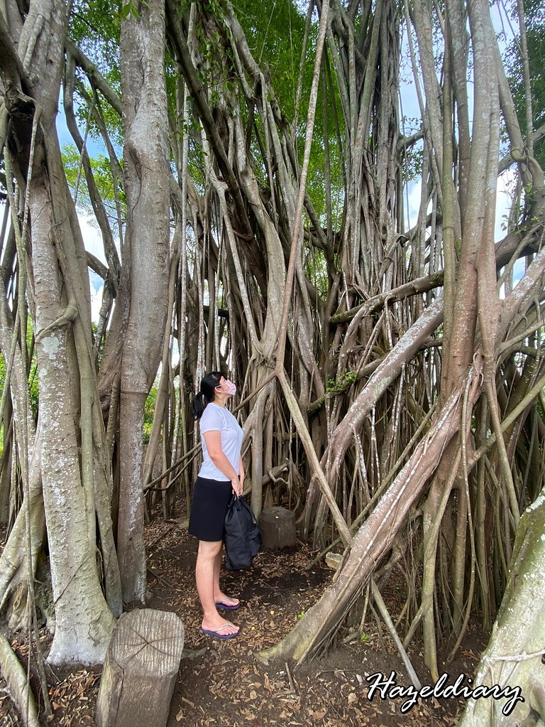 Sembawang Hot Spring Park Singapore-Banyan Tree 1