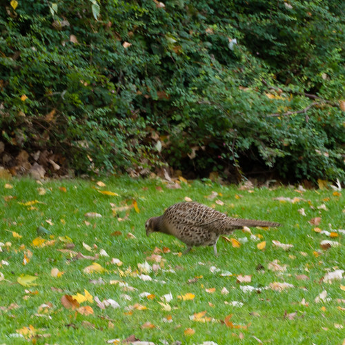 Female pheasant, at West Park still
