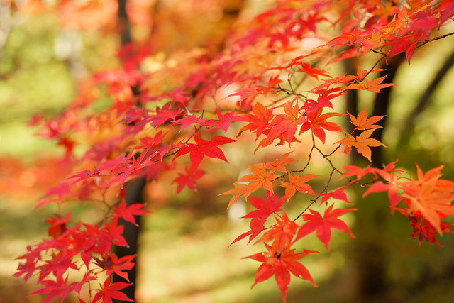 color of maple