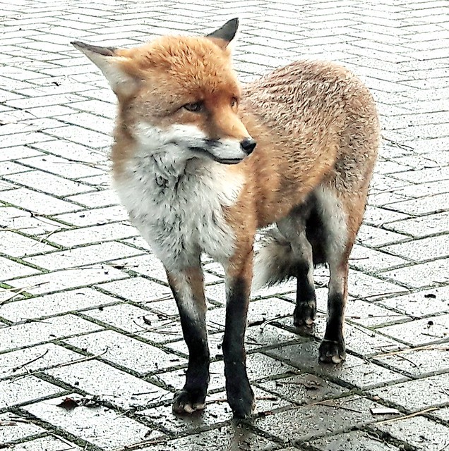 The friendly fox....