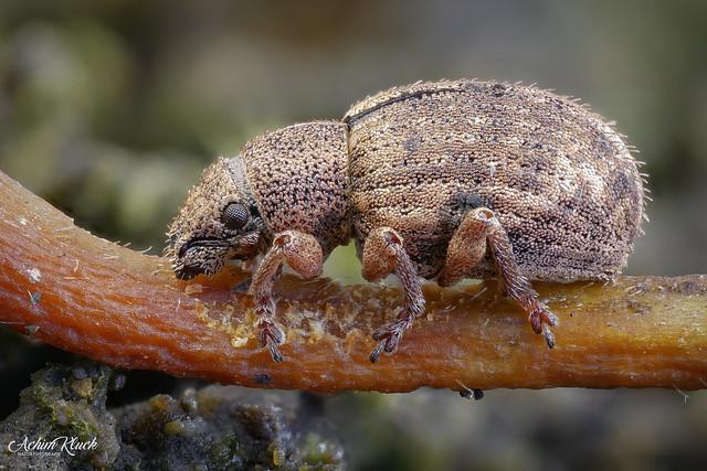 Winziger Rüsselkäfer der Strophosoma Arten