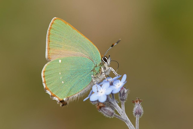 insect BF Green Hairstreak A05_001-02_17-05-14
