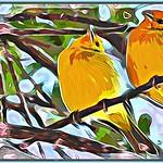 Saffron Finch Colored