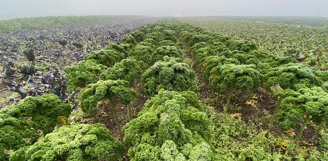 Kale field - Federkohlfeld, Andelfingen ZH