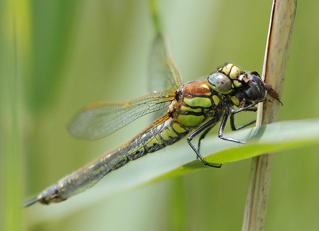 insects Hairy Dragon A1_001-02_10-06-14