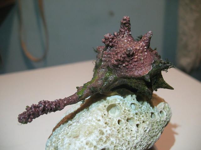 Bodljikavi volak, Murex brandaris, Purple dye murex