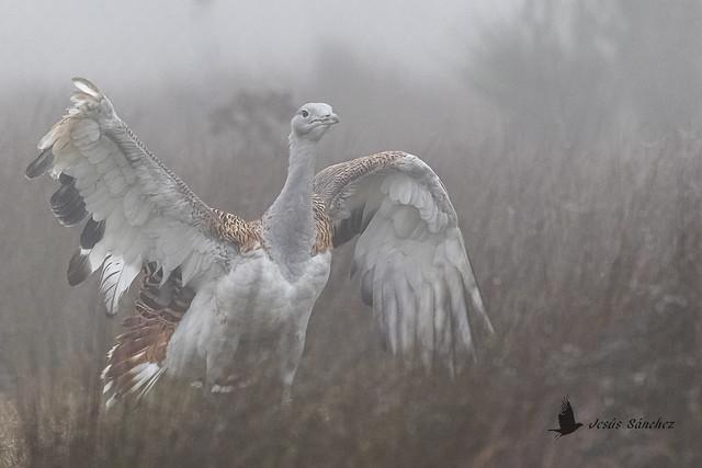 Avutarda común en la niebla, macho joven (Otis tarda) -foggy day-