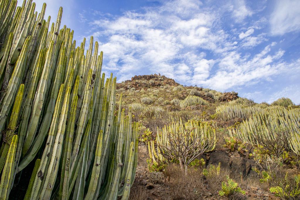 Tabaibas y cardones son la vegetación del Roque del Conde