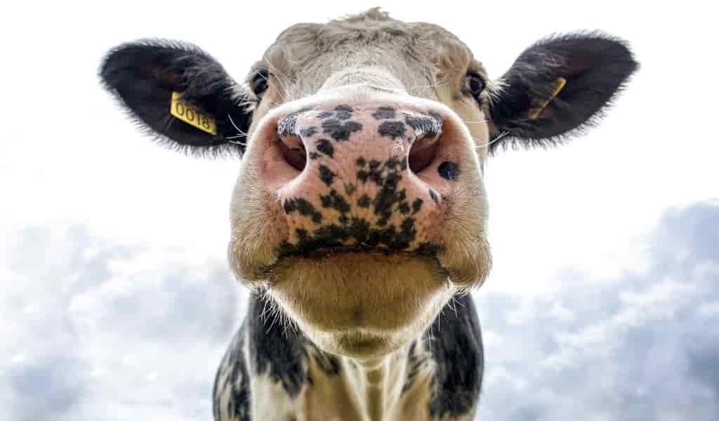 les-vaches-propagent-la-mutirésisance-bactérienne
