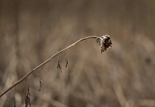 Sunflower seed head against dead stalks  1046_039 crop