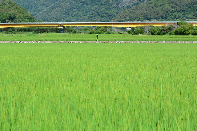 Looking in the Paddy Fields 2