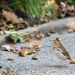 Hermit thrush, Central Park