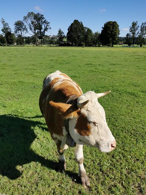 Cow Field Meadow Pasture Upper Bavaria Germany © Kuh Kuhweide Bayern Oberbayern ©