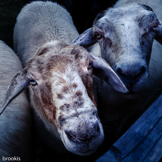 Sheep have freckles too