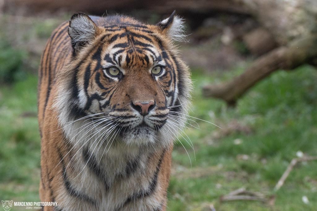 Sumatran Tigress - Burgers Zoo - The Netherlands