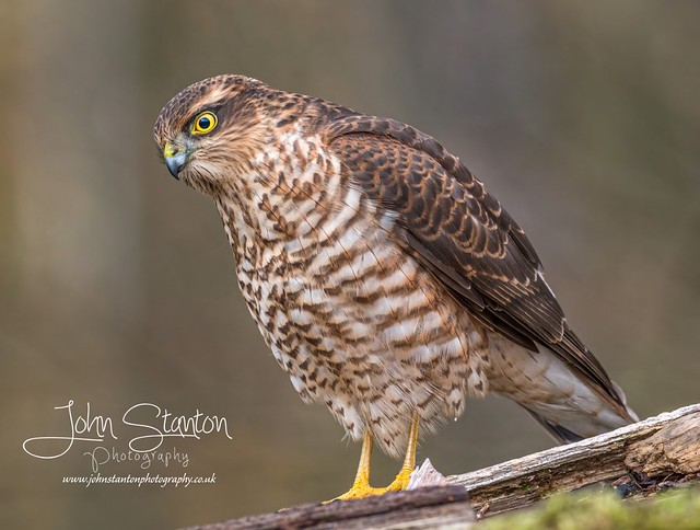 Young Sparrowhawk came and landed in front of me again today, stayed a minute then off hunting