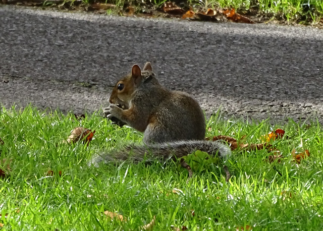 Beccy Jameson SQUIRREL EATING NUTS ON THE GRASS IN A LONDON PARK ENGLAND DSC03401 A