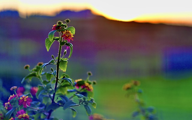 Lantanas at sunset