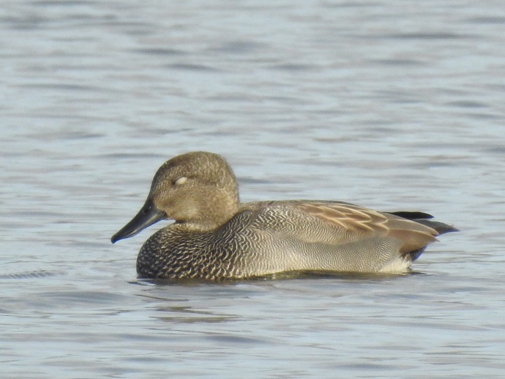 Male gadwall duck longham lakes on Friday