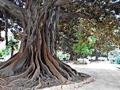 Ficus en el jardin de la Glorieta - València