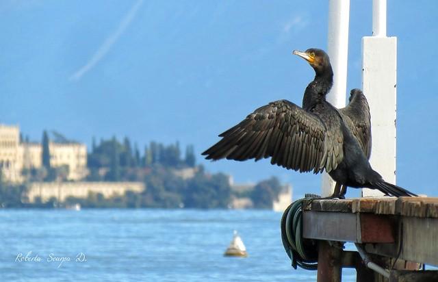 Cormorano del Lago di Garda Italy