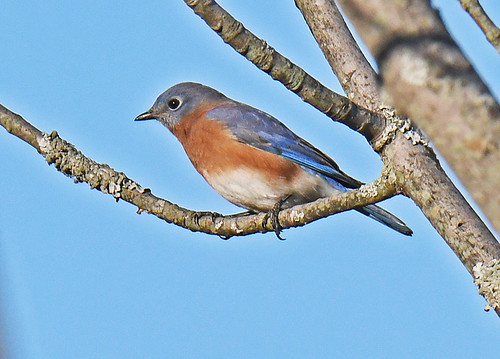 Eastern Bluebird - Whiting Road Nature Preserve - © Dick Horsey - Nov 09, 2020