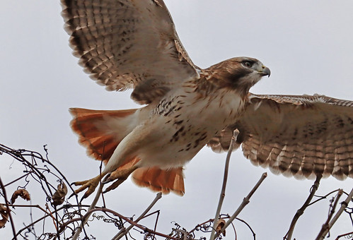 Red-tailed Hawk - Buckland Park - © Jeff Eichner - Nov 12, 2020