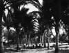 Cocoanut Palms Mossman, c.1930s-1950s