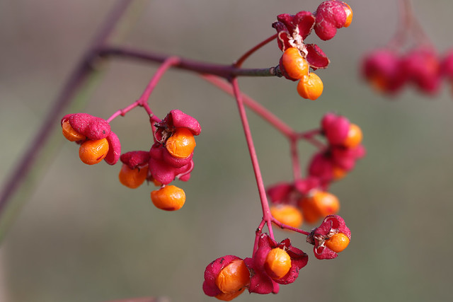 Spindle berries {EXPLORED 17.11.2020} Thank you for viewing, favours & comments