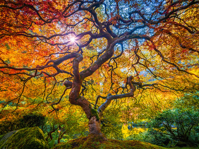Japanese Maple Tree Mixed Autumn Colors Oregon Fall Foliage: The Tao of the Portland Japanese Garden: Yellow Orange Green Red Leaves Fine Art Landscape Nature Photography! Fuji GFX 100 ! Elliot McGucken 45EPIC Fujifilm GFX100 & Fujinon GF Wide Angle Lens!