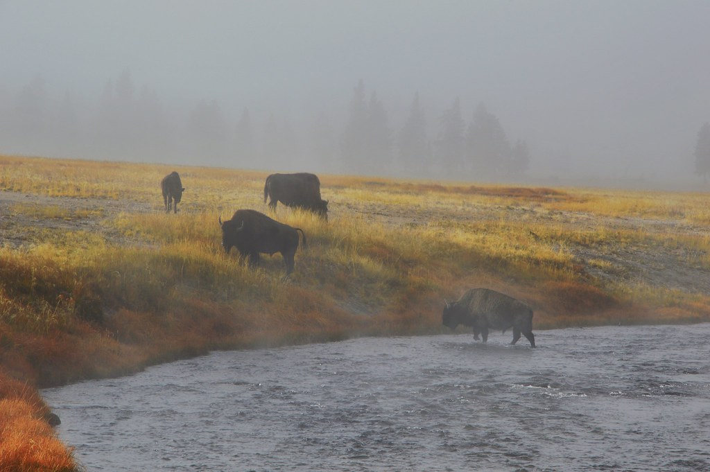 Fog and Bisons