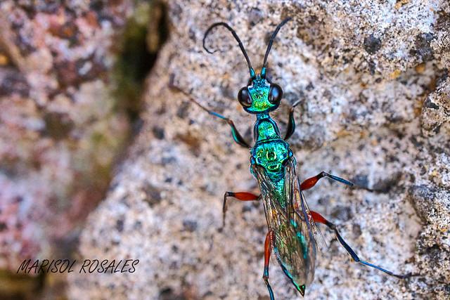 hormiga a color_