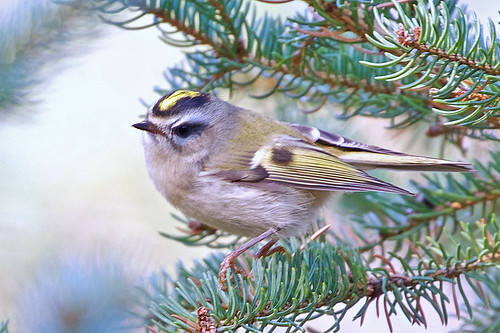 Golden-crowned Kinglet - Owl Woods - © Jeanne Verhulst - Nov 07, 2020