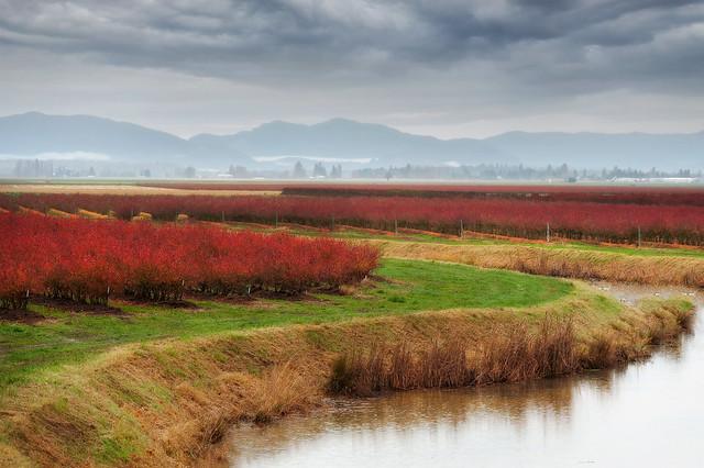 Skagit Valley Blueberry Field