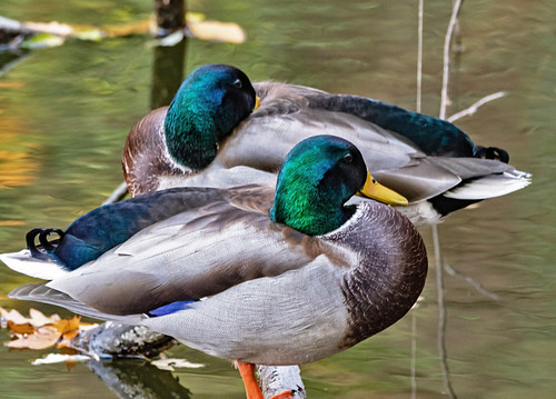 Mallard - Irondequoit Bay Outlet - © David Laiacona - Nov 06, 2020