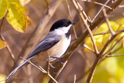 Black-capped Chickadee - Webster Park - © Jeanne Verhulst - Nov 06, 2020