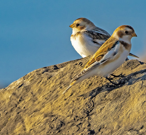 Snow Bunting - Charlotte Beach - © David Laiacona - Nov 09, 2020