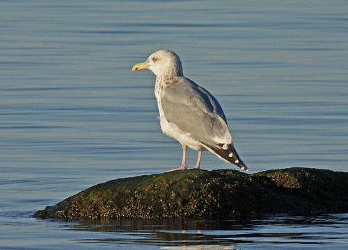 Herring Gull - Manitou Beach Road Overlook - © Candace Giles - Nov 10, 2020