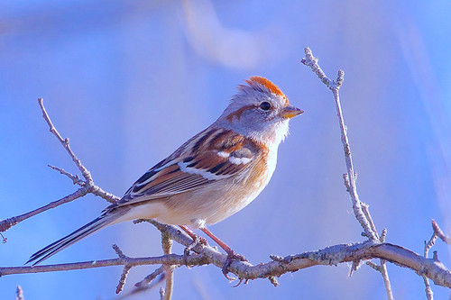 American Tree Sparrow - Brickyard Trail - © Jeanne Verhulst - Nov 11, 2020