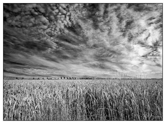 Graanveld nabij Swifterbant in de Flevopolder