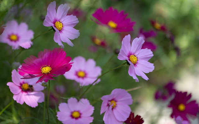 A crowd of Cosmos